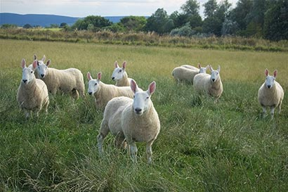 Doulton Border Leicester rams in field